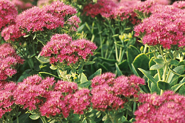 5 low maintenance drought resistant perennials to plant for Low maintenance plants shrubs
